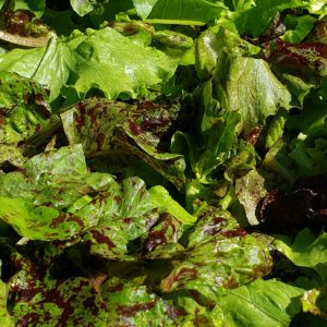 Gourmet Lettuce mix 8 oz